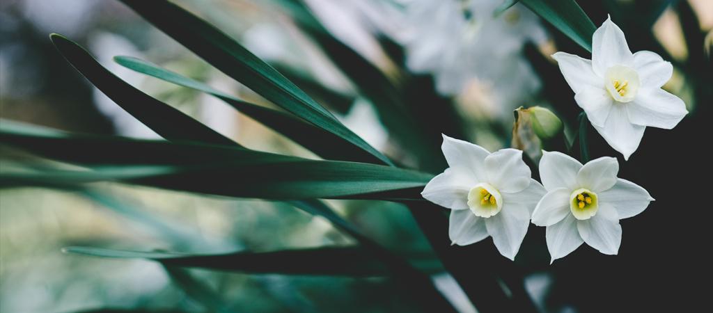 daffodils post